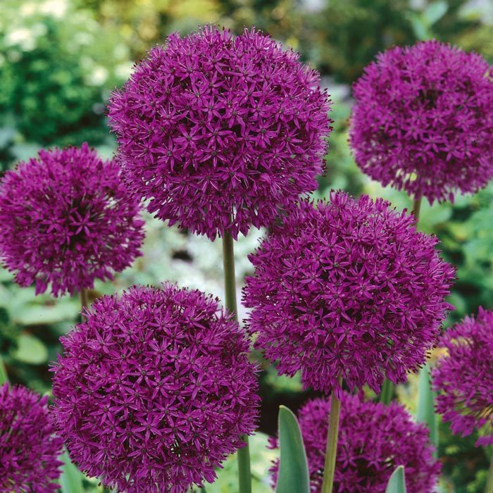purple sensations allium so an 7 adet ithal allium s s so an. Black Bedroom Furniture Sets. Home Design Ideas